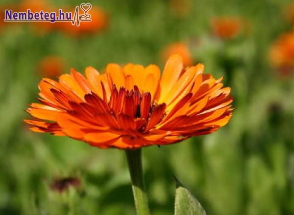 A körömvirág jó gyulladáscsökkentő, sebgyógyító