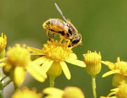 Szinte minden megtalálható a virágporban, ami az egészséges élethez kell