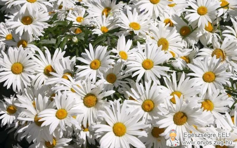 Kamilla - gyulladáscsökkentő gyógynövény
