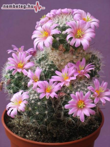 Kaktusz virágzás