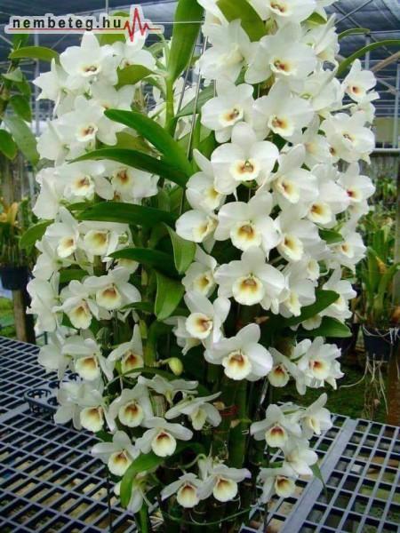 Nyílik az orchidea