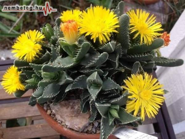 Virágzik a kaktusz