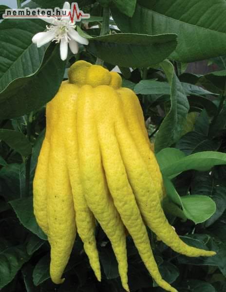 Buddha keze - ázsiai citrom