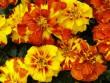 Körömvirág - tisztító hatású gyógynövény