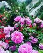 Lila rózsa kert
