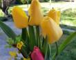 Tavasz, sárga tulipán