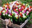 Tulipán kosár