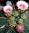 Különleges kaktusz virágzás