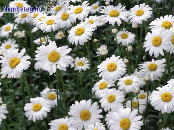 Kamilla - gyógynövény