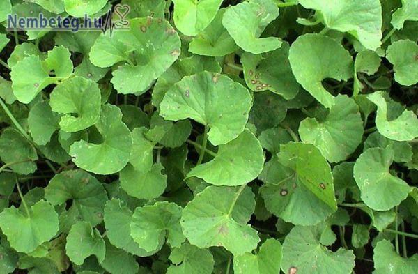 Centella - gyógynövény