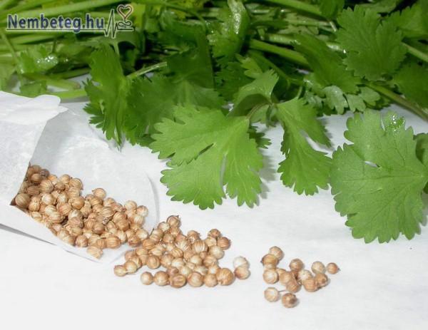 Koriander- nemcsak fűszer, gyógynövény is