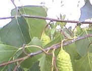 Nyírfalevél - gyógynövény