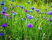 Búzavirág - gyógynövény