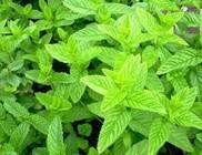 Fodormenta - gyógynövény