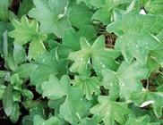 Palástfű - gyógynövény