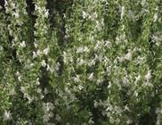 Borsikafű - gyógynövény
