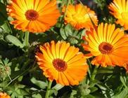 Körömvirág - gyógynövény