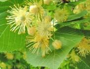 Hársfavirág - gyógynövény