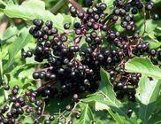 Kasvirág és fekete bodza - gyógynövények