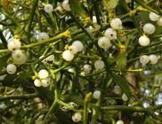 Fehér fagyöngy - gyógynövény