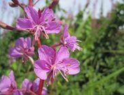 Kisvirágú füzike - gyógynövény
