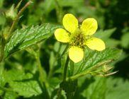 Gyömbér (virág) - gyógynövény