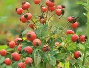 Csipkebogyó - gyógynövény
